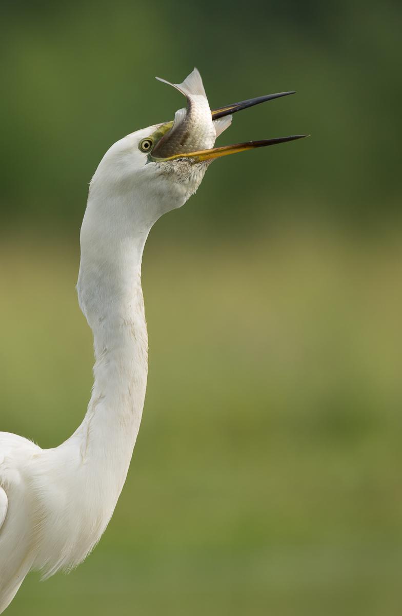 Blog-StorkEgret-4